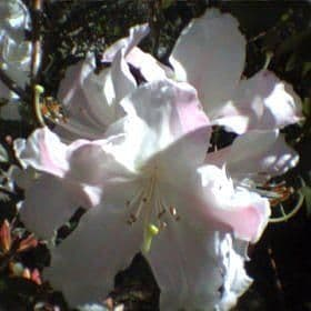 Rhododendron 'Harry Tagg' - Find Azleas,Camellias,Hydrangea and Rhododendrons at Loder Plants